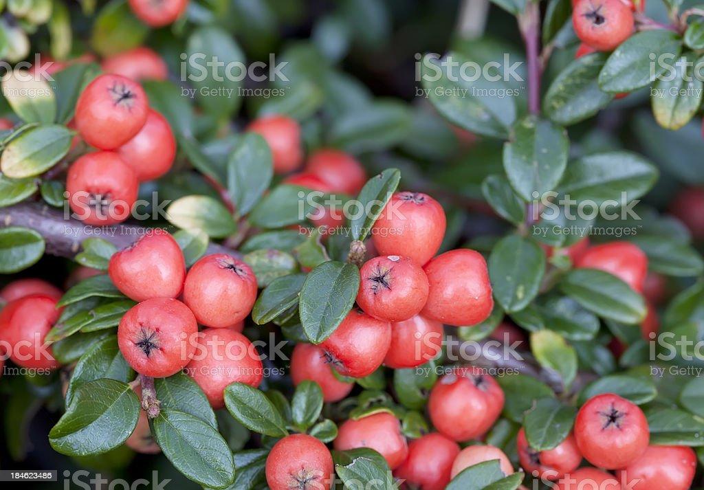 Cotonéaster fruits rouges - Photo