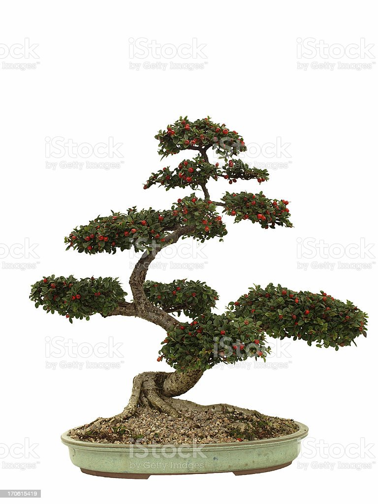 Cotonéaster Bonsai sur blanc - Photo