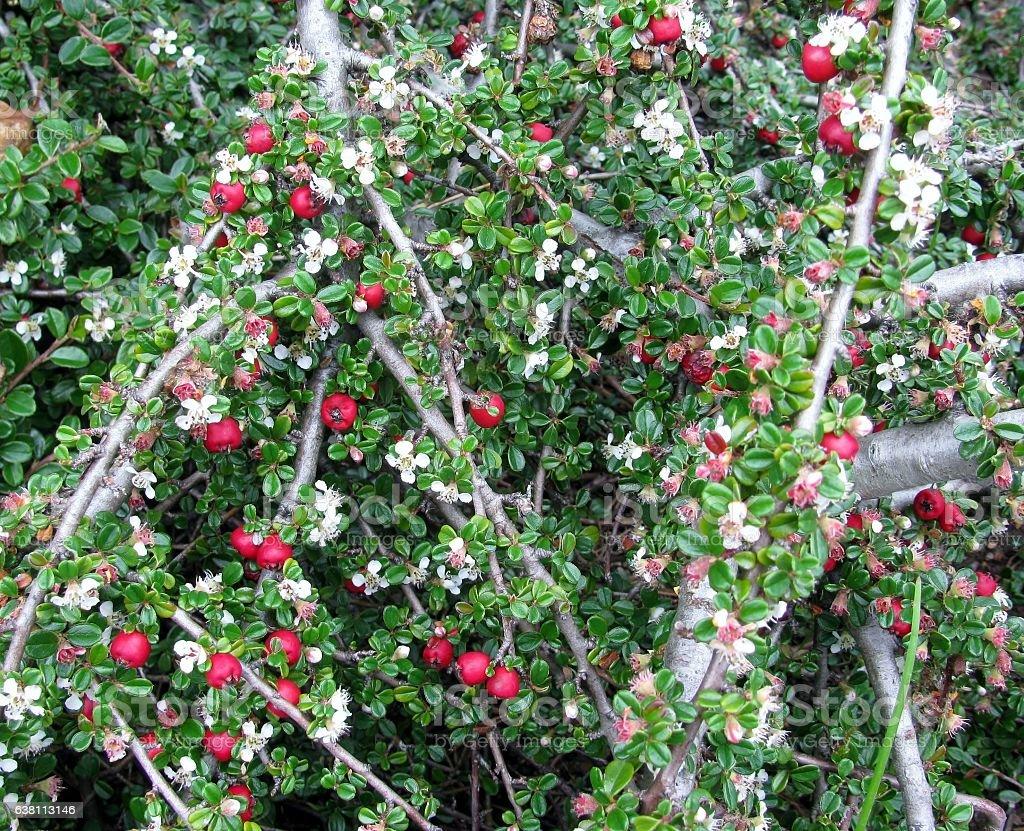 Cotoneaster dammeri bush background stock photo