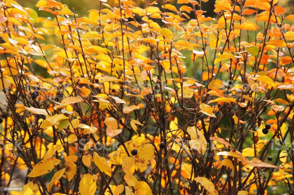 Follaje de otoño de arbusto amarillo de almácigo de Cotoneaster en pared - Foto de stock de Aire libre libre de derechos