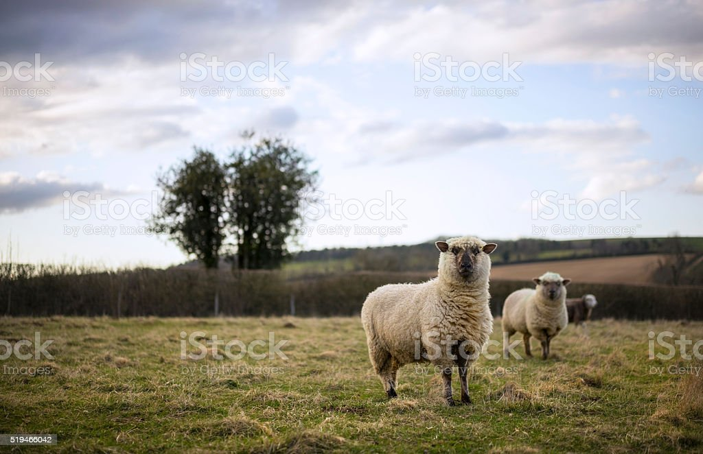 Cotswold Sheep stock photo