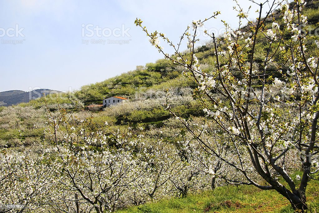 Cottage between cherry blossom royalty-free stock photo