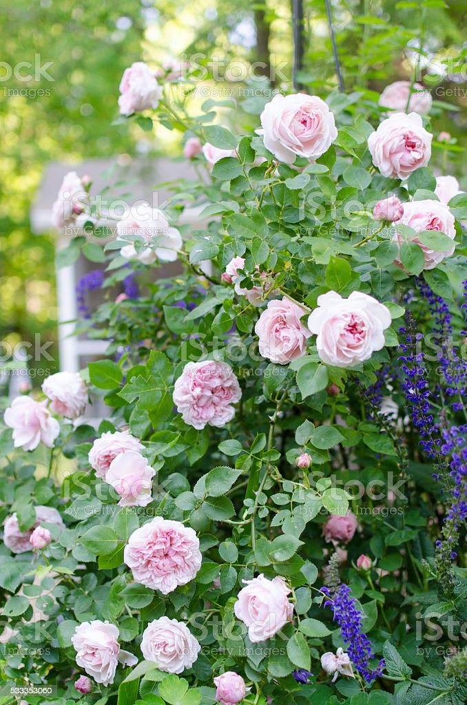 Cottage Garden Pink Roses Background Stock Photo Download Image