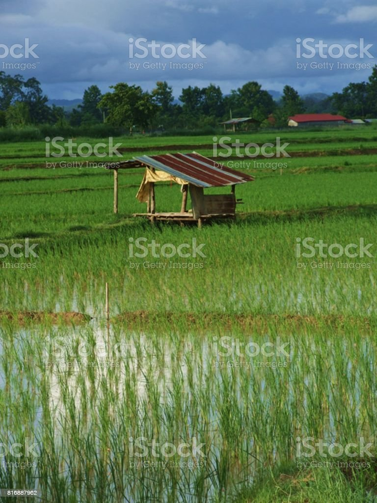 Cottage in the rice field stock photo