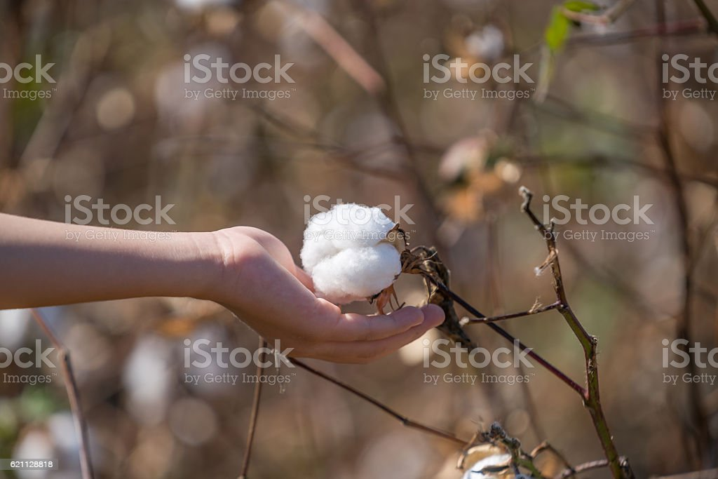 Cotton balls on the plant ready to be harvested, stock photo