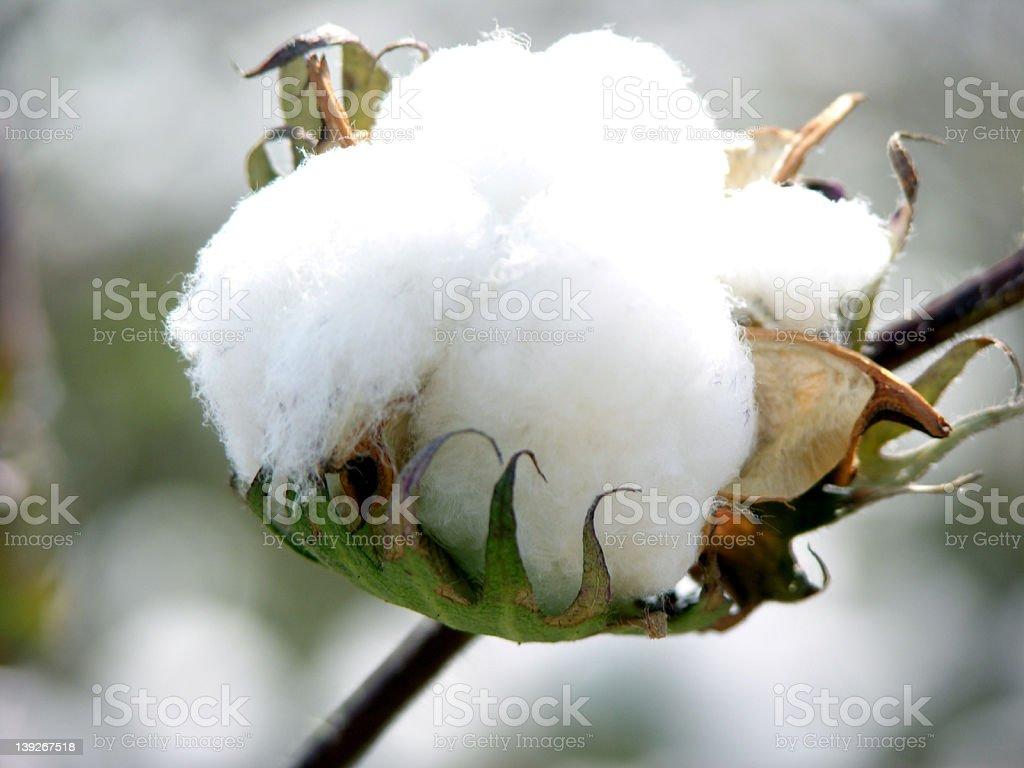 Cotton bloom stock photo