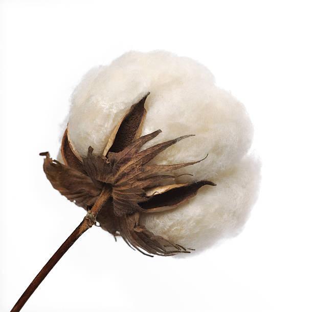 Baumwolle Boll – Foto