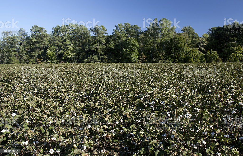 Cotton Bolls royalty-free stock photo