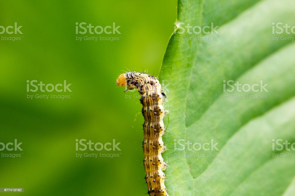 Cotton bollworm on the leaves stock photo
