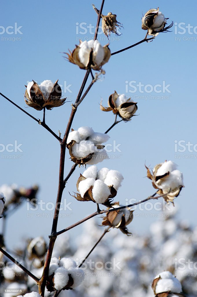 Cotton branch stock photo