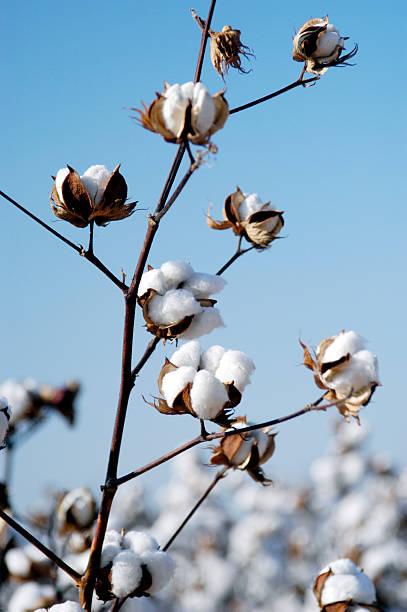 cotton branch - cotton growing bildbanksfoton och bilder