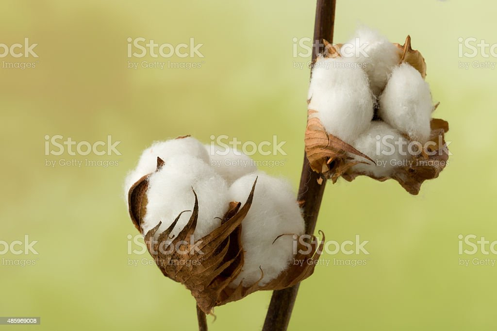 Cotton buds stock photo