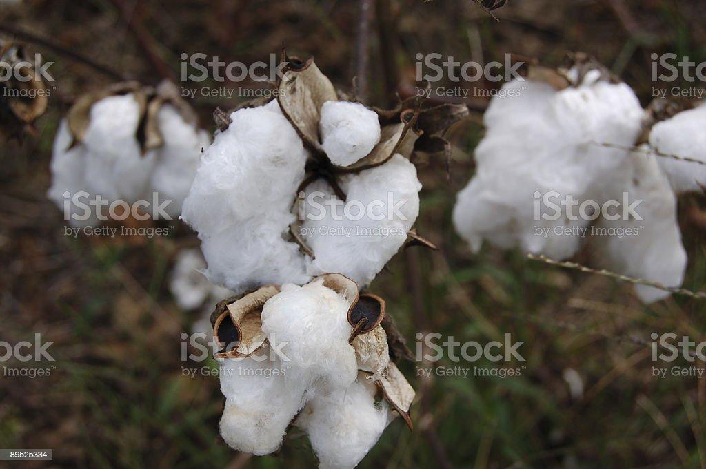 bur de algodón foto de stock libre de derechos