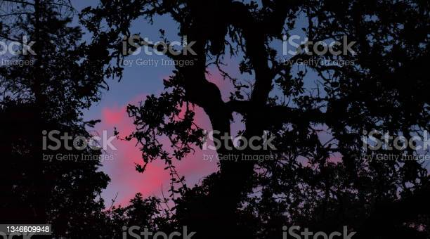 Photo of Cotton candy sky w/ silhouetted oak Bothe-Napa Valley State Park CA
