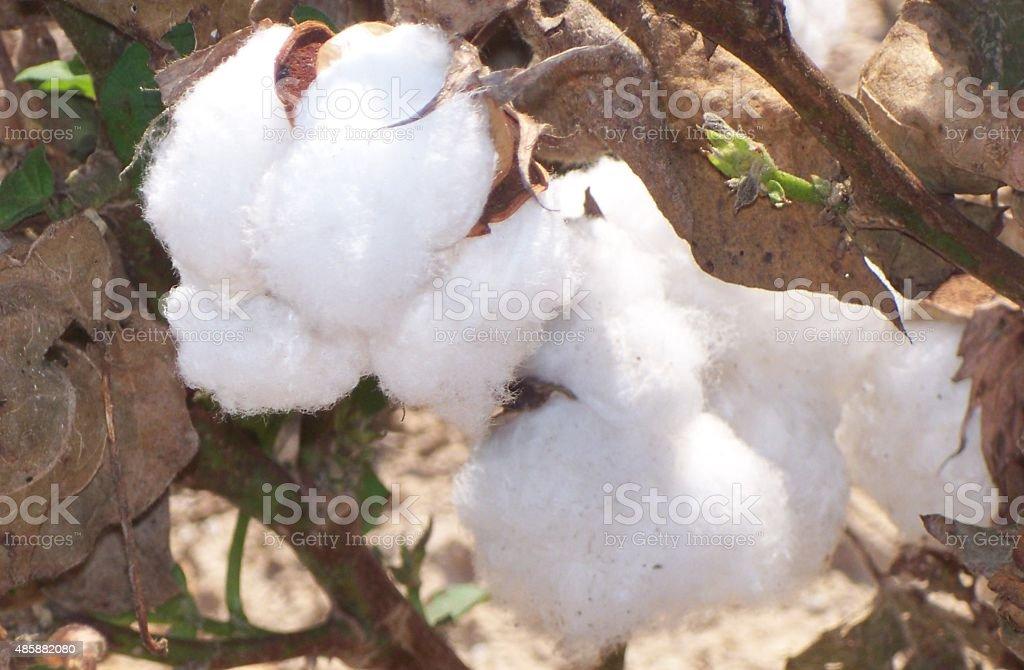 Cotton Close Up stock photo