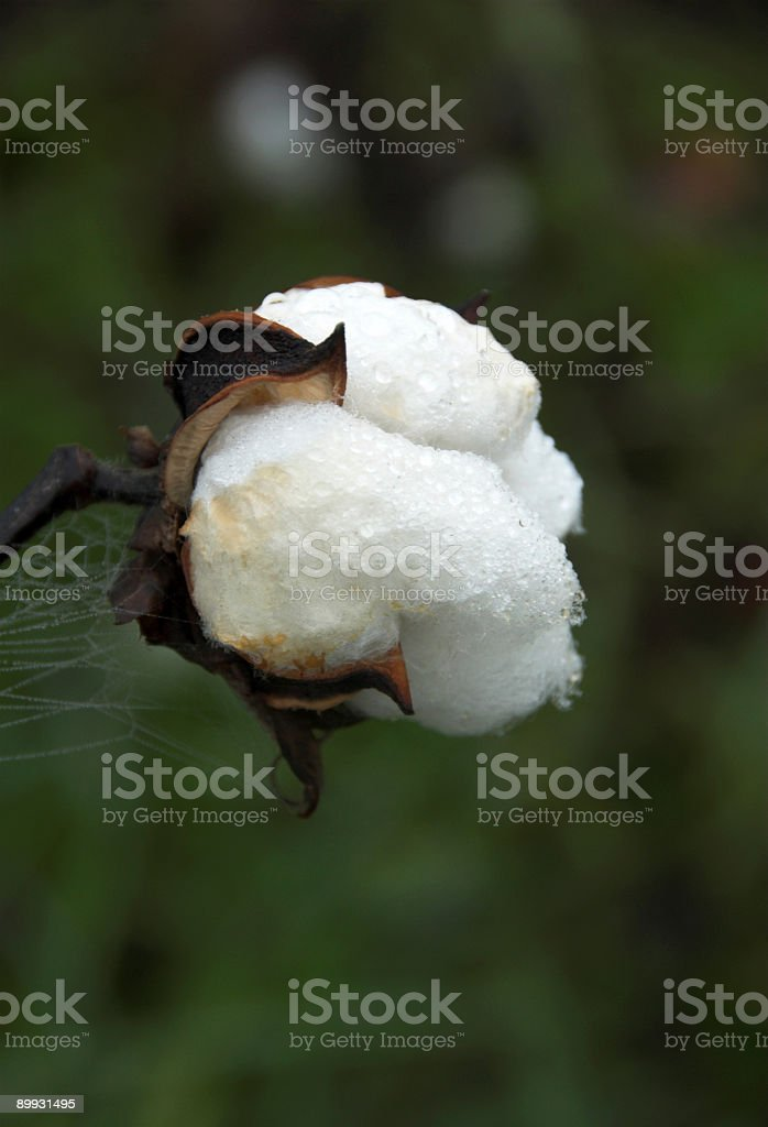 Cotton close-up royalty-free stock photo