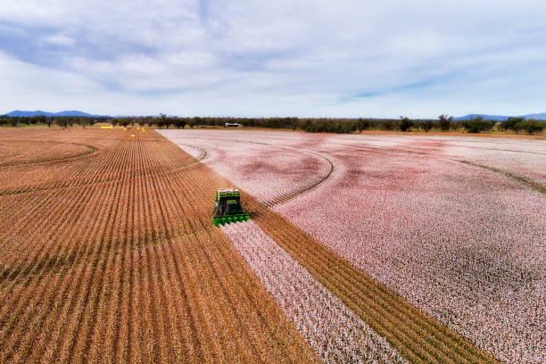 D Cotton COmbine Front DIst Flat cultivated agricultural farm fields of Australia under cotton plants during harvesting season with combine tractor picking white snow cotton boxes. cotton stock pictures, royalty-free photos & images