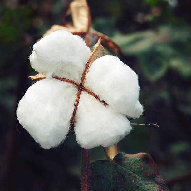 Cotton crop close up. Aged photo. India. – Foto