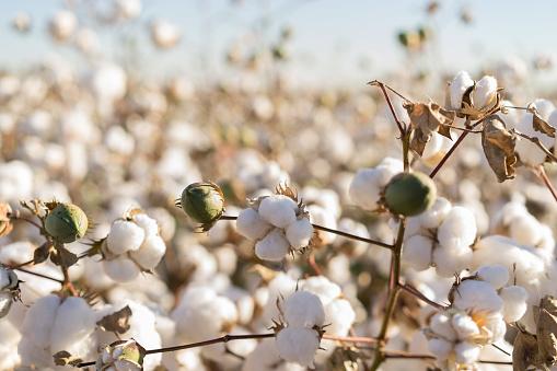 盛開的棉花作物 照片檔及更多 亞利桑那州 照片