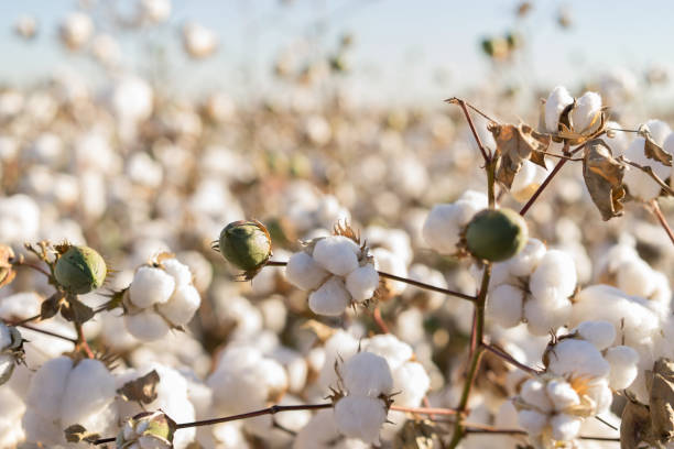 Cotton crop in full bloom Cotton bud crop in full bloom cotton stock pictures, royalty-free photos & images