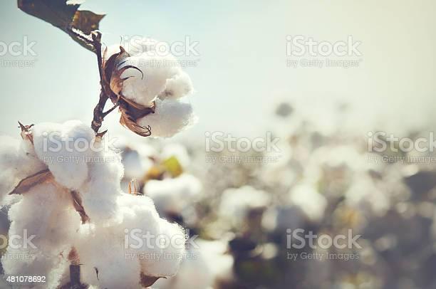 Cotton crop landscape with copy space area picture id481078692?b=1&k=6&m=481078692&s=612x612&h=semfoc096wxvxee4zbd65axekhdxc0ingsgqzp57cj4=