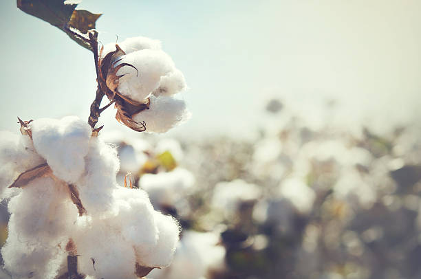 Cotton crop landscape with copy space area Cotton crop landscape with copy space area cotton stock pictures, royalty-free photos & images