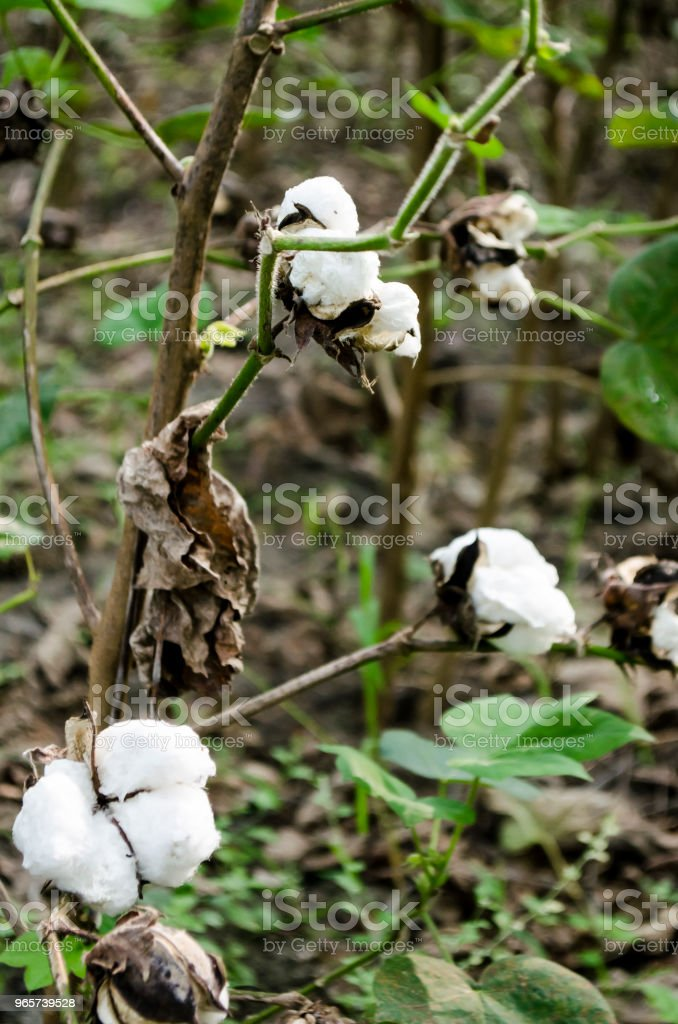 Cotton crop landscape with copy space area - Royalty-free 2015 Stock Photo