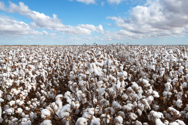 Cotton Crop stock photo