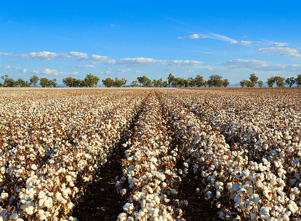 Cotton crops A field of cotton crops under a blue sky cotton stock pictures, royalty-free photos & images