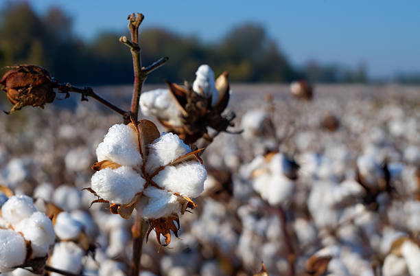 Cotton, Essential Clothing Fiber Once harvested, this cotton will makes its way into many of the clothes hanging in the stores today. cotton stock pictures, royalty-free photos & images