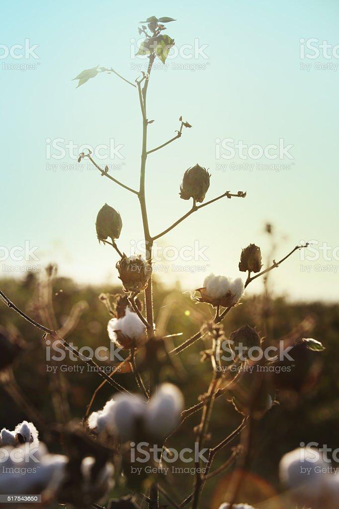 Cotton Farm stock photo