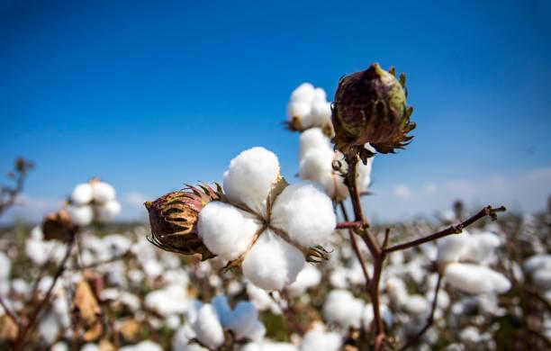 bomull fält jordbruk, färska ekologiska naturel liv - cotton growing bildbanksfoton och bilder