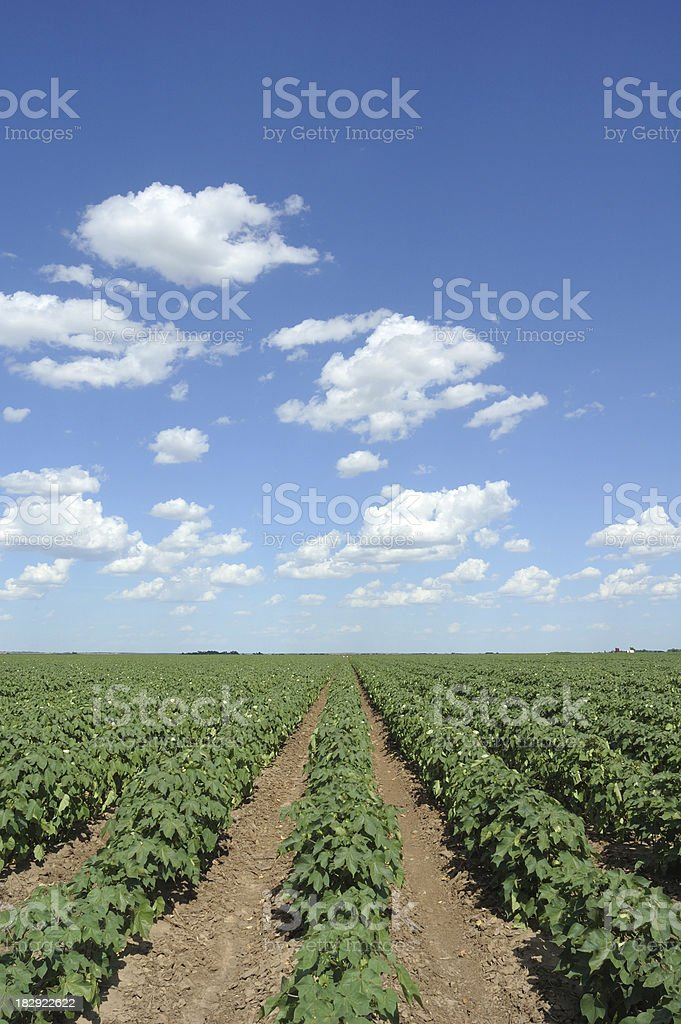 Cotton Field and Clouds stock photo