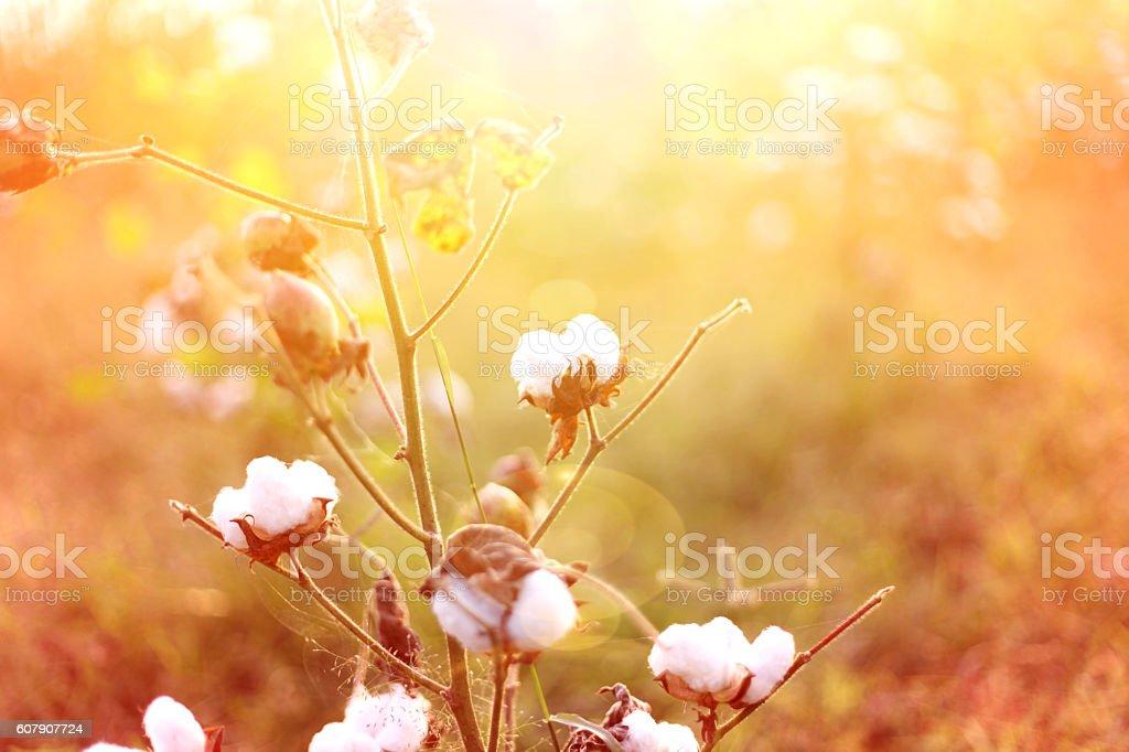 Cotton Field And Sunrise stock photo