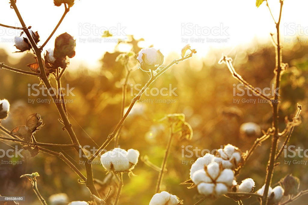 Cotton Field During Early Morning HDR Image stock photo