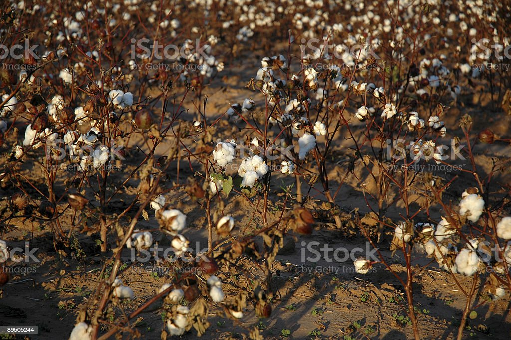 Cotton Field in Late Evening royalty-free stock photo