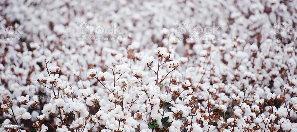 Cotton field in Oakey stock photo