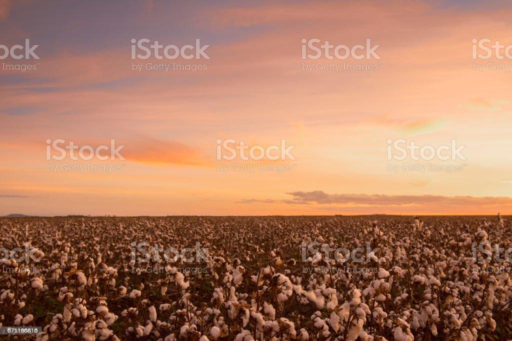 Cotton field in Oakey, Queensland stock photo