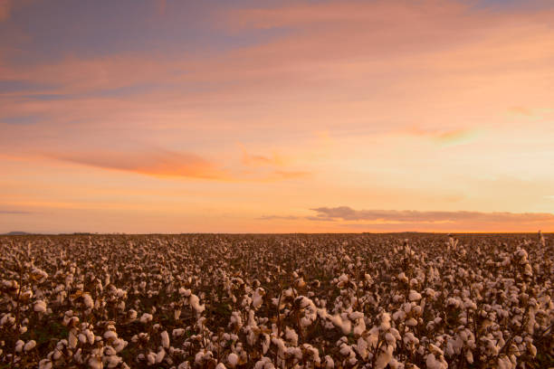 Cotton field in Oakey, Queensland stock photo