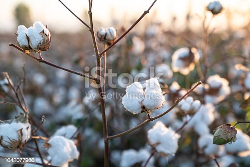 Cotton plant in cotton field during sunrise. No people are seen in frame. Orange color is dominant due to time of the day. Shot with a full frame mirrorless camera.
