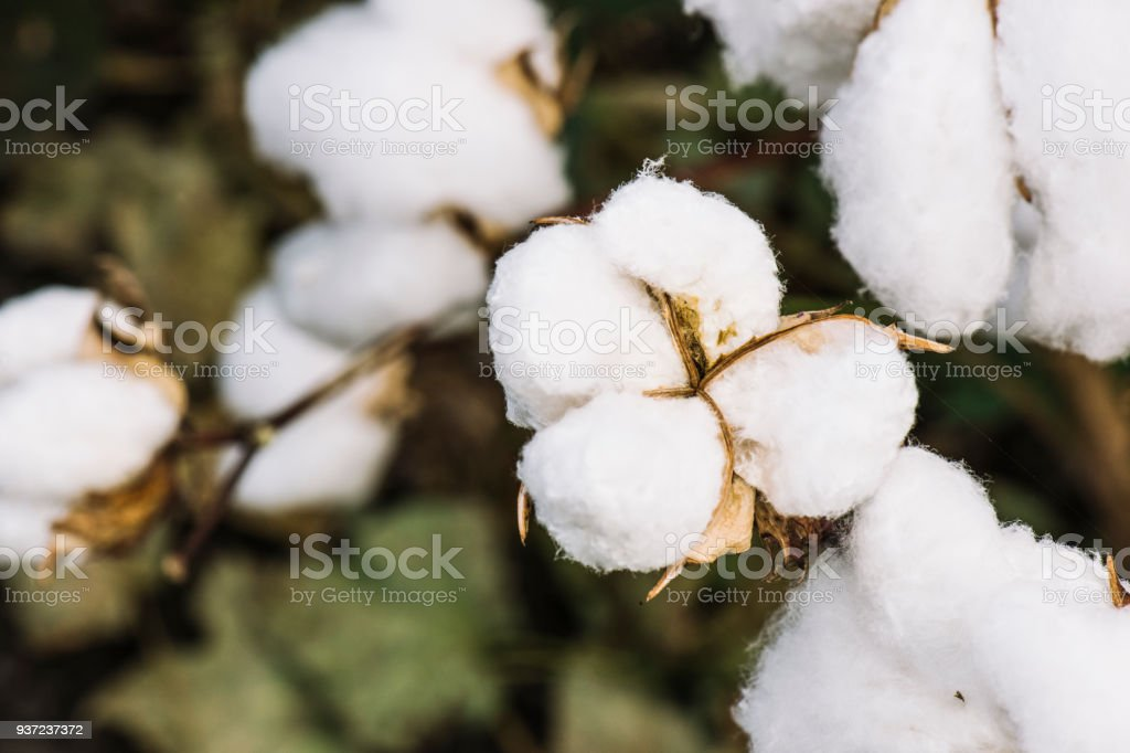 Cotton field in the countryside. stock photo