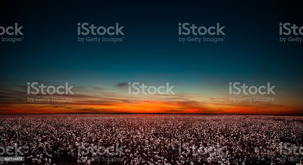 Cotton Field in West Texas at Sunset stock photo