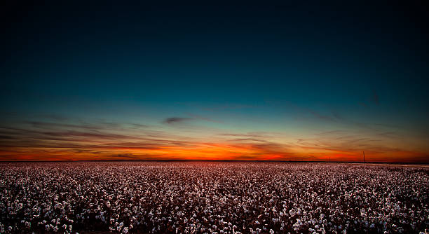 Cotton Field in West Texas at Sunset Sunset in West Texas over a large cotton field. cotton stock pictures, royalty-free photos & images
