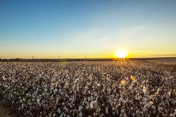 Cotton field on the sunshiny day stock photo