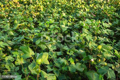 Flower, Blossom, Petal, Plant, Cotton Plant