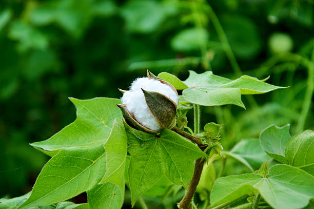 Cotton Field Fresh Green Cotton Field. cotton stock pictures, royalty-free photos & images