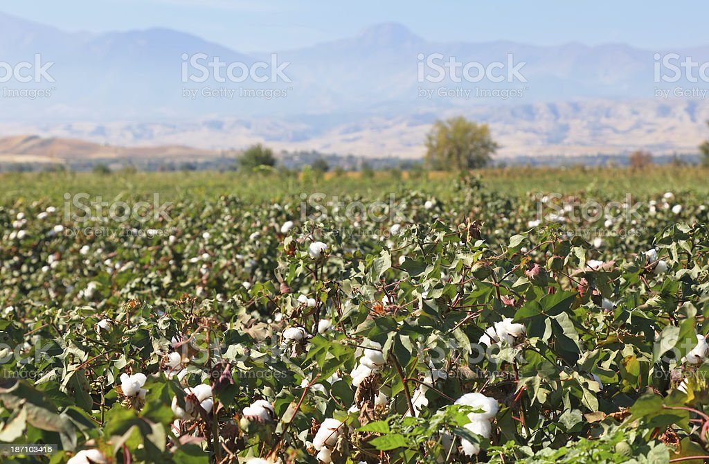 Cotton Field royalty-free stock photo