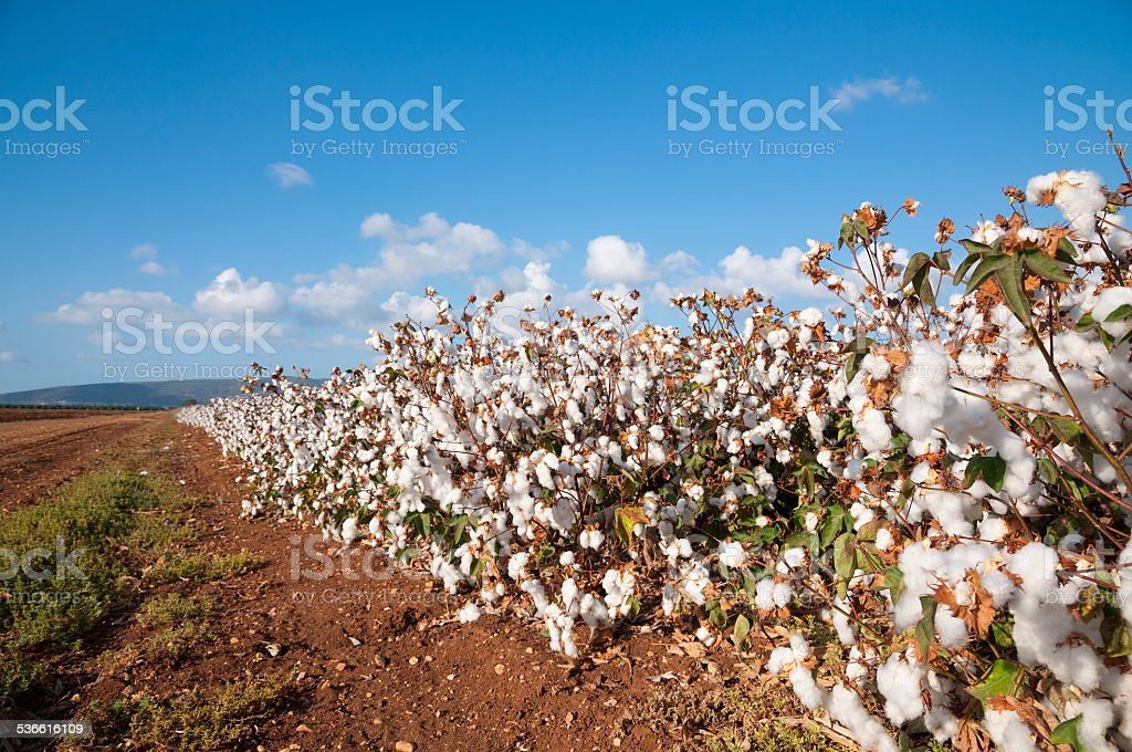 Cotton Field stock photo