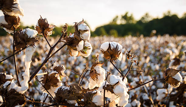 Cotton Field Cotton Field cotton stock pictures, royalty-free photos & images