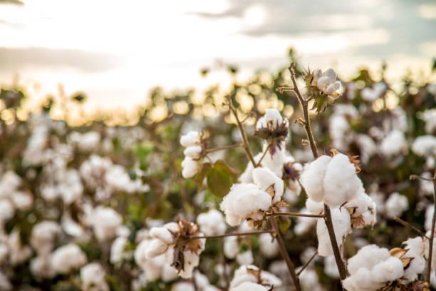 bomull fält plantation textur bakgrund - cotton growing bildbanksfoton och bilder